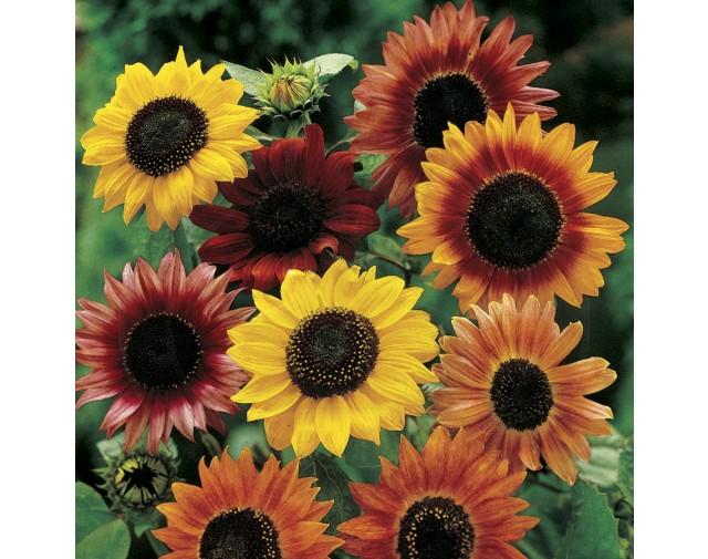 pieterpikzonen-seminte-floarea-soarelui-mix-0-5-g