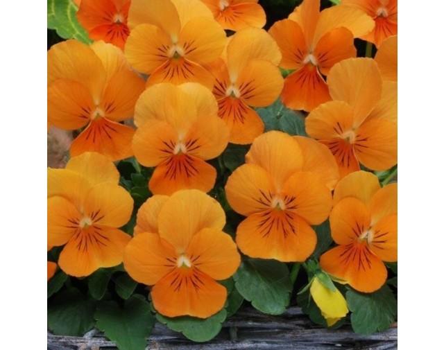 pieterpikzonen seminte panselute portocalii viola swiss giant or - 1